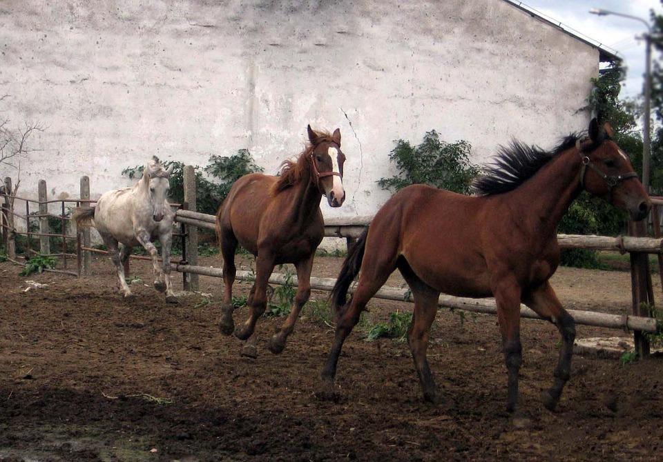 Horses, Mares, Stallions, Run
