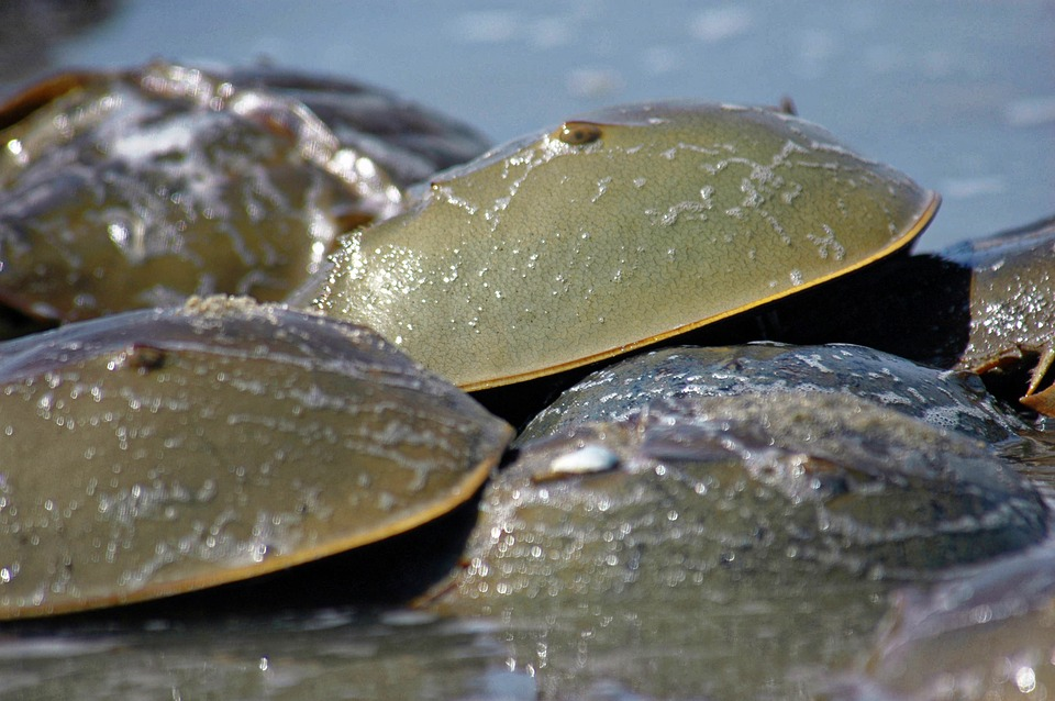 Horseshoe Crabs, Crabs, Horseshoe, Sea, Nature, Shell