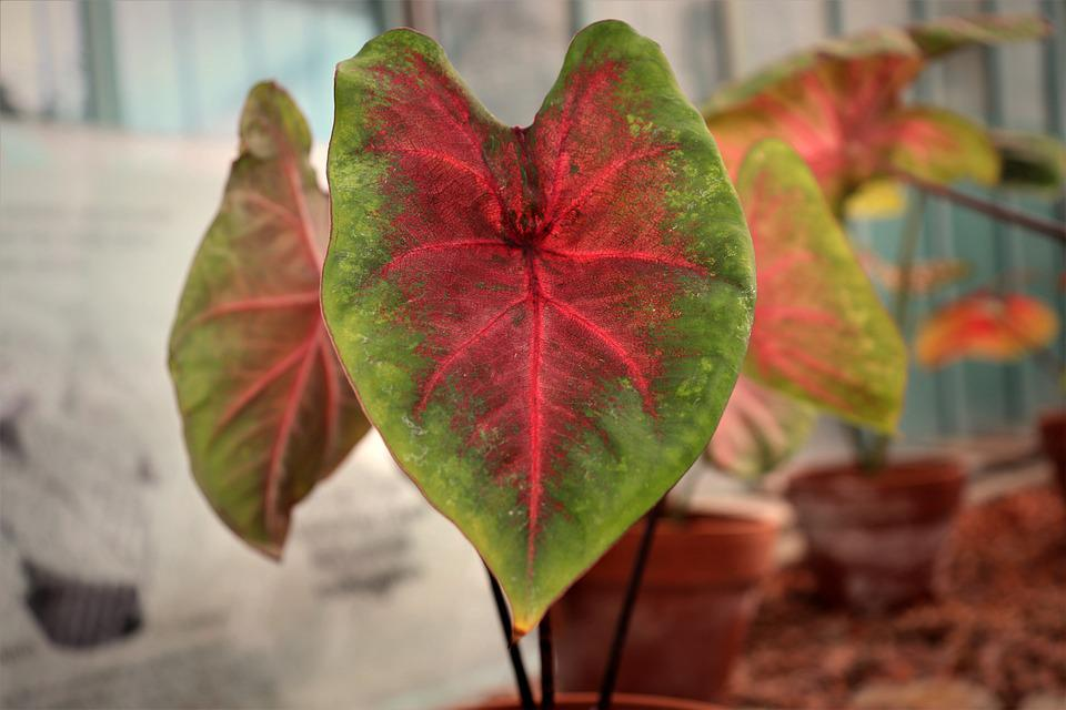 Caladium, Tropical Plants, Leaves, Plants, Horticulture