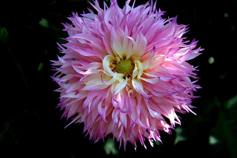 Dahlia, Pink Flower, Pink Dahlia, Garden, Horticulture