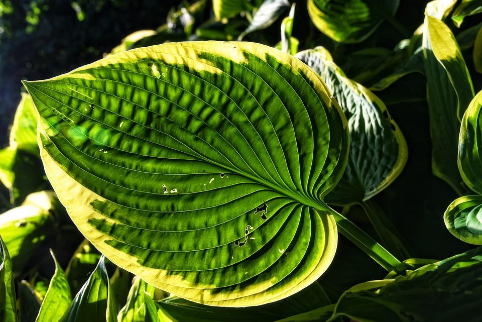 Hosta, Plantain Lilies, Plant, Foliage Plant