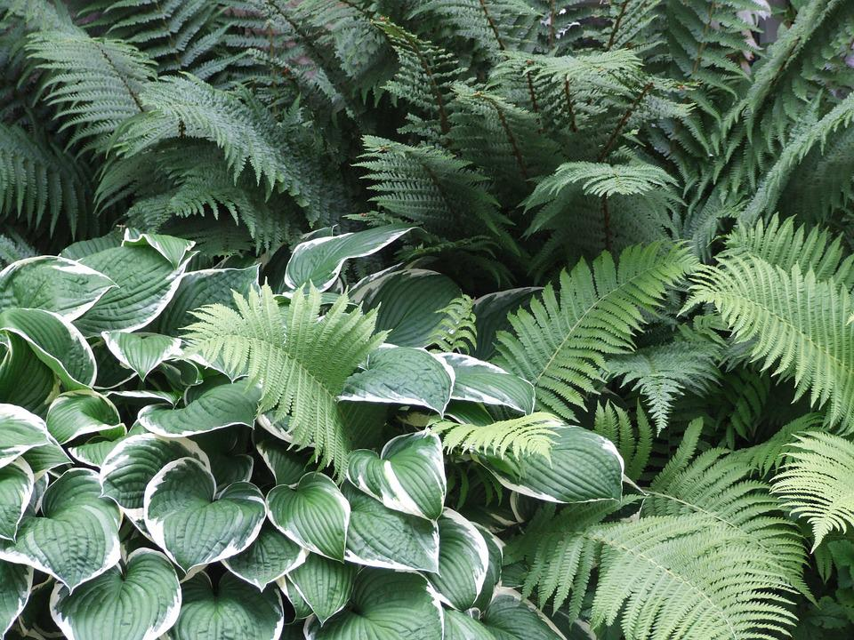Garden, Hosta, Plantain Lily, Shadow, Leaf, Fern