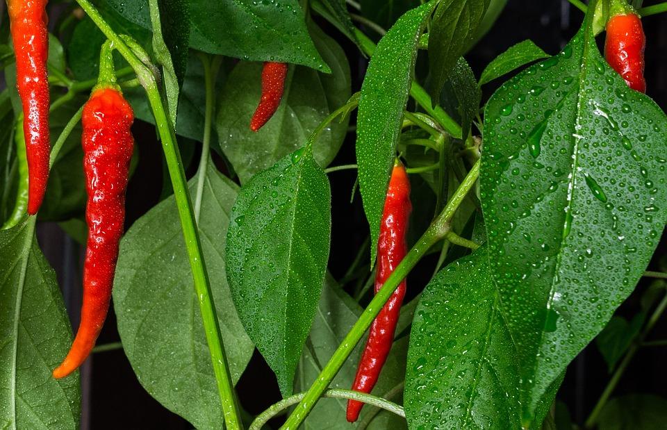 Chili, Peper, Plant, Red, Hot, Nature, Wet, Rising