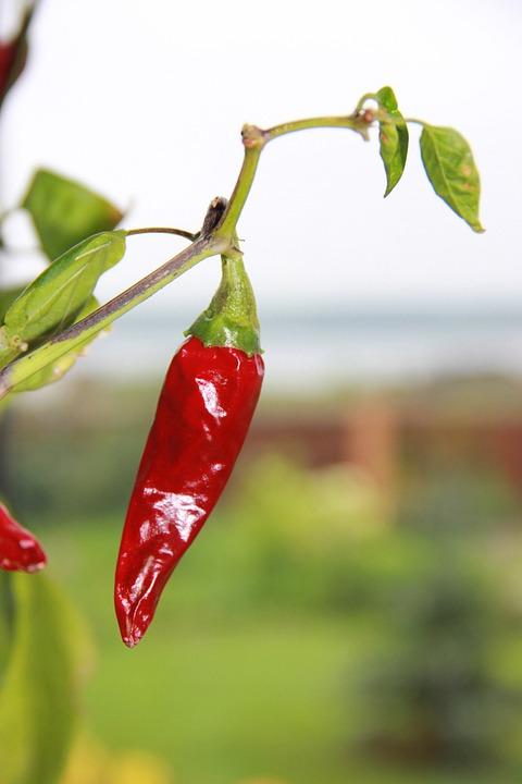 Hot Pepper, Pepper, Red, Sharp, Nutrition, Chile