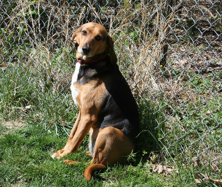 Dog, Foxhound, Hound, Pet, Mammal, Purebred, Canine