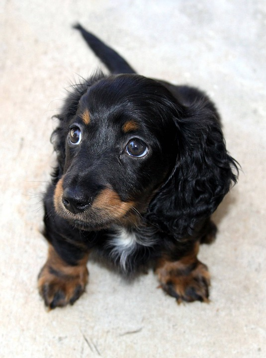 Dachshund, Long Hair, Puppy, Hound, Dackel, Teckel