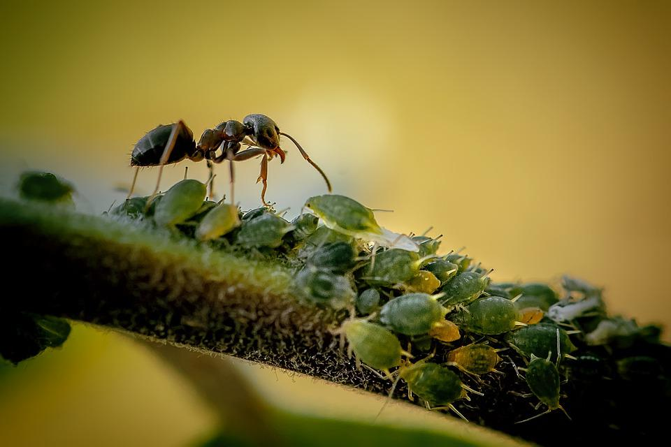 Ant, Insects, Antennae, Bugs, Plant, House Ant, Garden