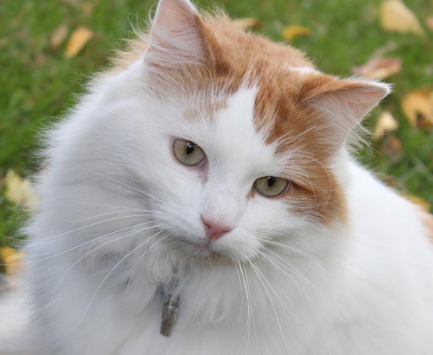 Cat, House Cat, Animal