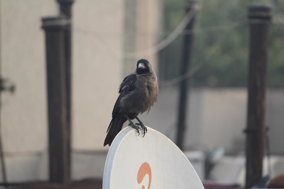Crow, Grey-necked, House Crow