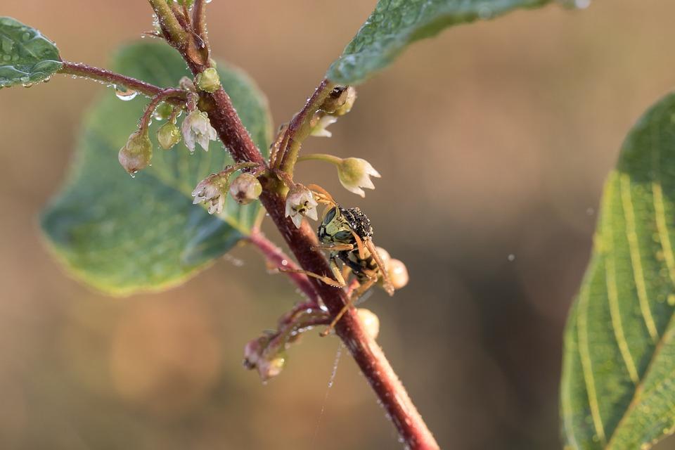 Field Wasp, Gallic Field Wasp, House Feldwespe