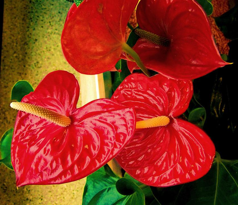 Flamingo Flower, Red Flower, House Plant