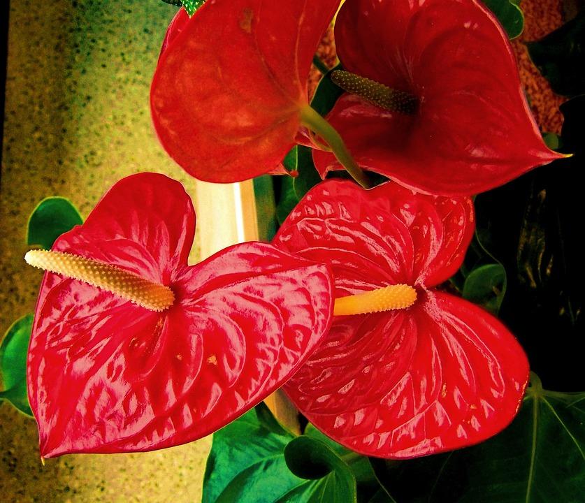 Flamingo Flower, Red Flower, House Plant