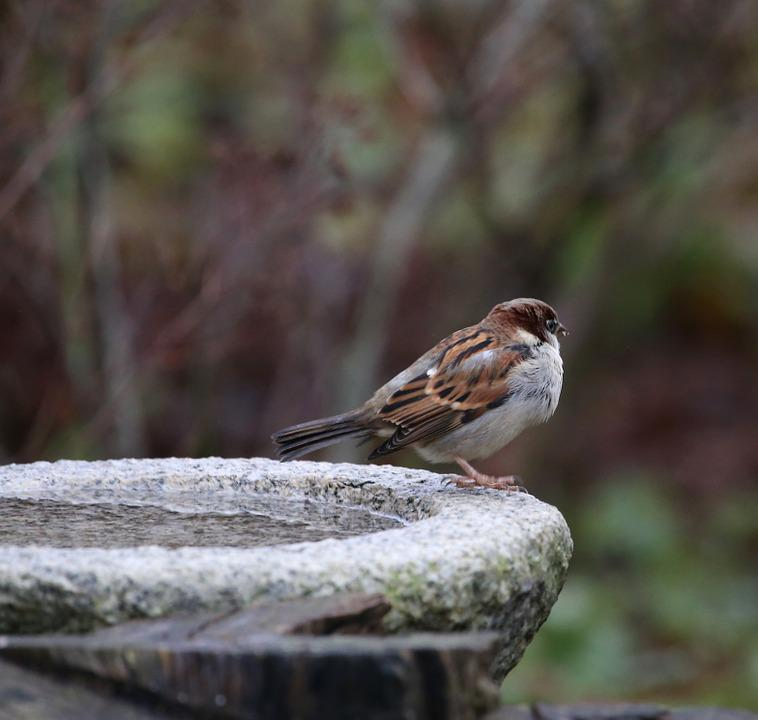 Bird, House Sparrow, Passer Domesticus, Plumage