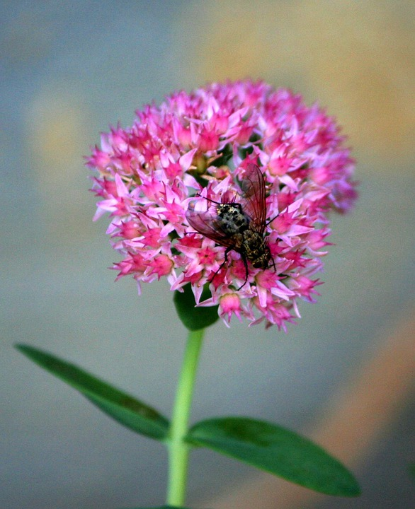 Housefly, Fly, Pest, Insect, Bug, Pink Flowers