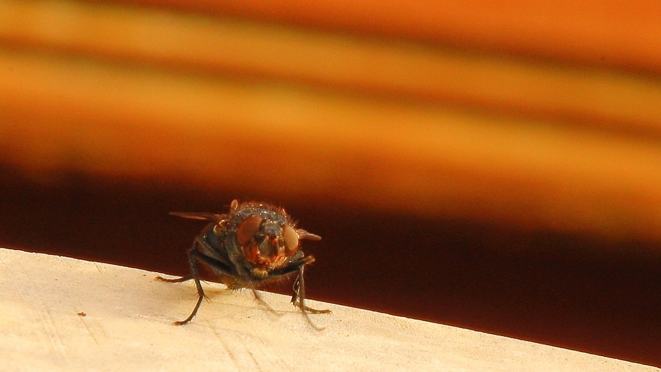 Housefly, Fly, Insect, Close, Animal, Macro, Wing
