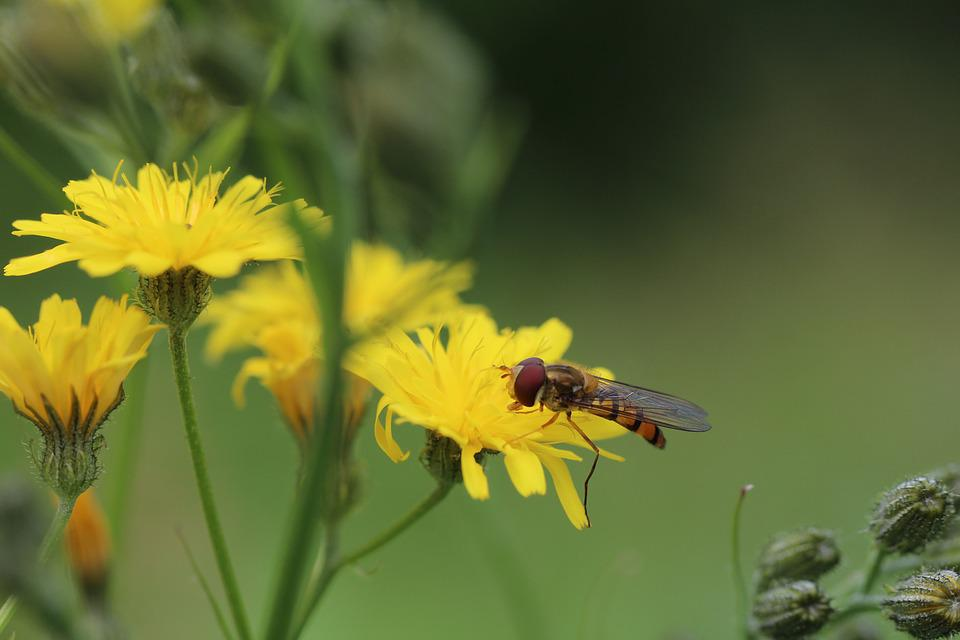 Hoverflies, Porcelle, Asteraceae