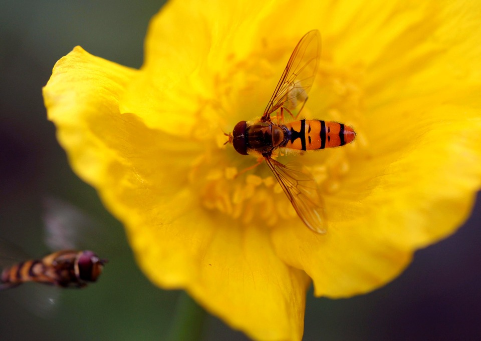Hoverfly, Blossom, Bloom, Macro, Garden, Flowers, Plant