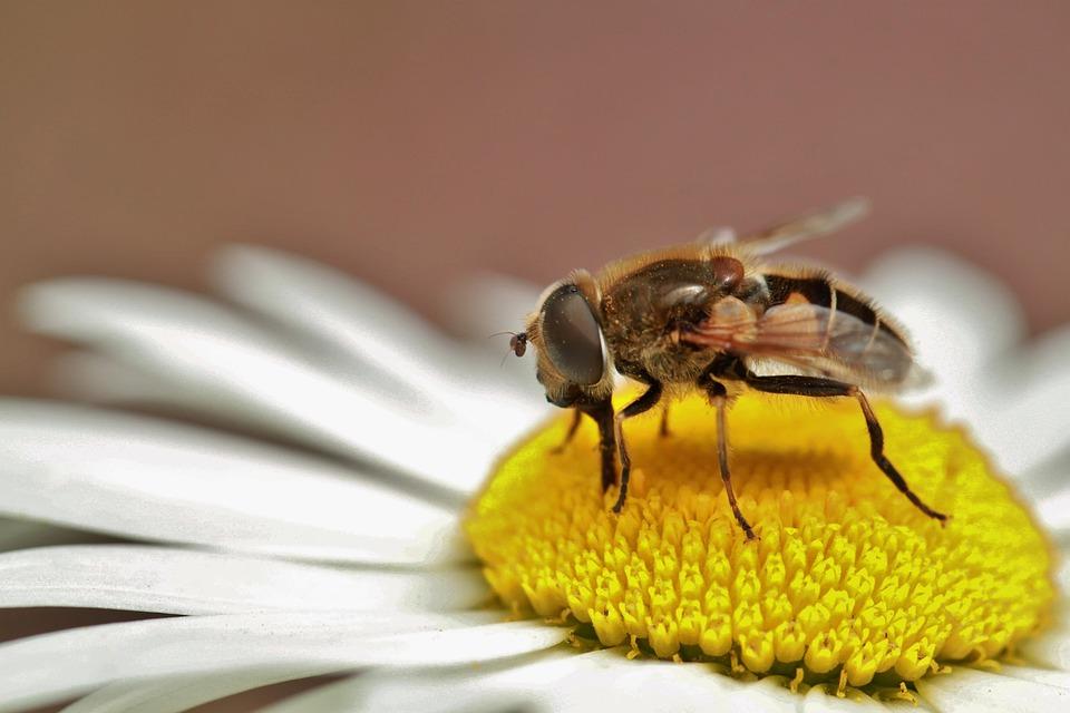 Hoverfly, Insect, Nature, Macro, Proboscis, Suck, Close