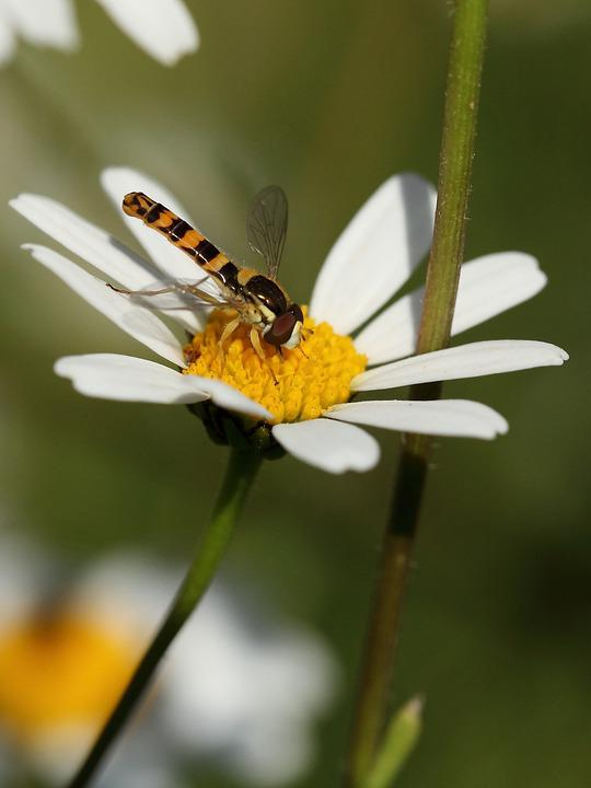 Insect, Hoverfly, Marguerite
