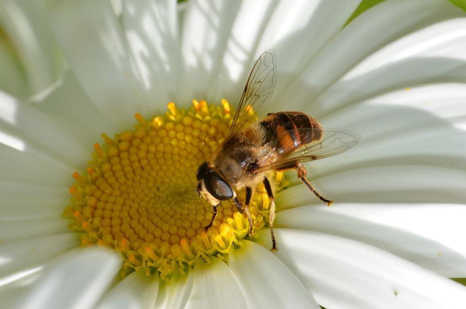 Insect, Hoverfly, Pollinator, Diptera