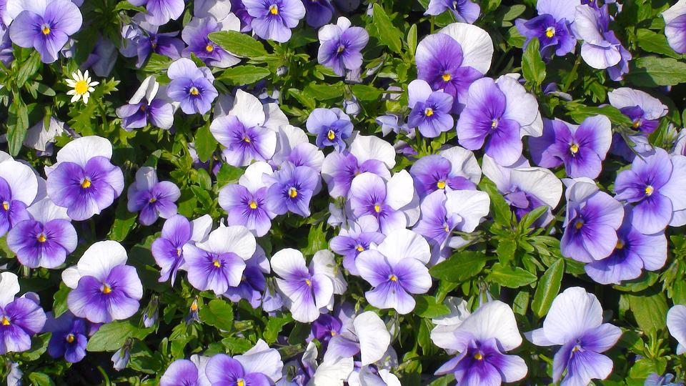 Flowers, Pansy, Sumire, Purple, Green, Leaf, Huang, Lot
