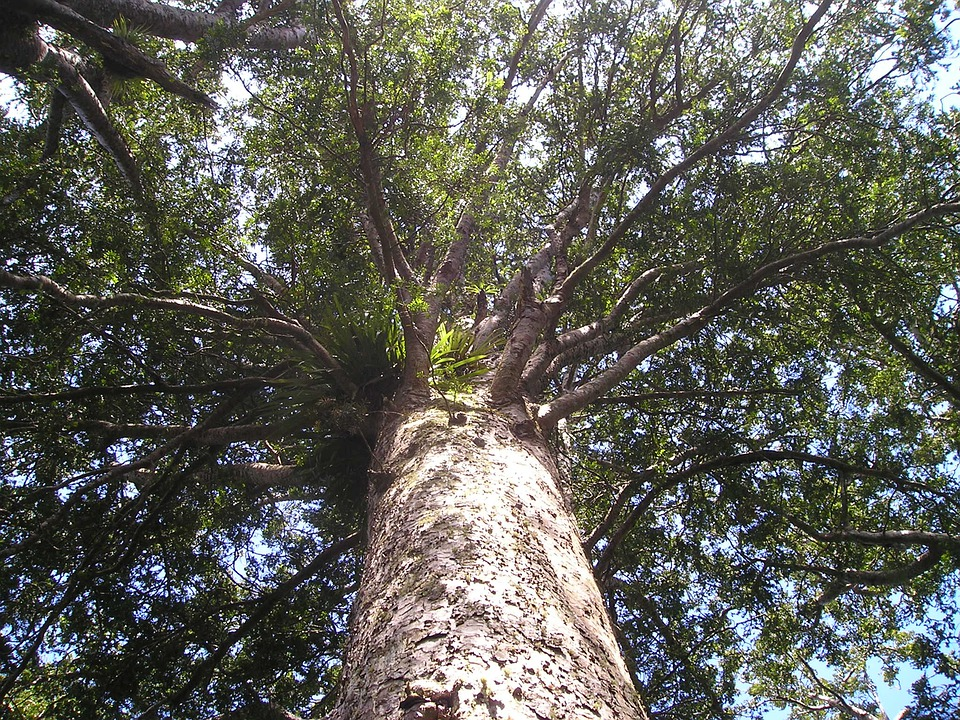 Kauri, Tree, Giant Tree, Huge I, Riesen, Trees
