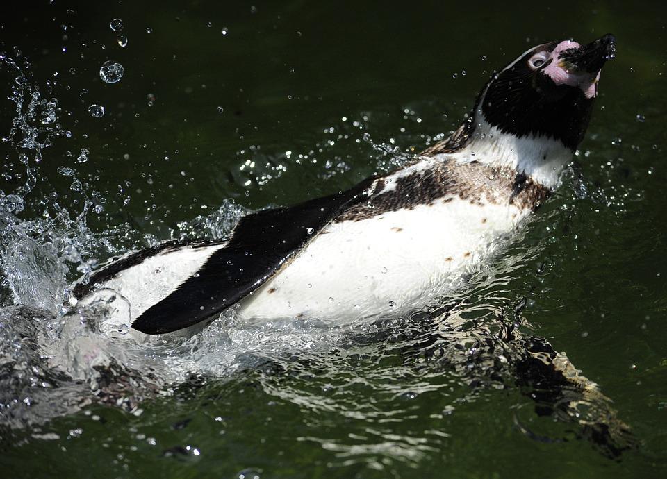 Penguin, Humboldt Penguin, Bird, Water Bird, Swim