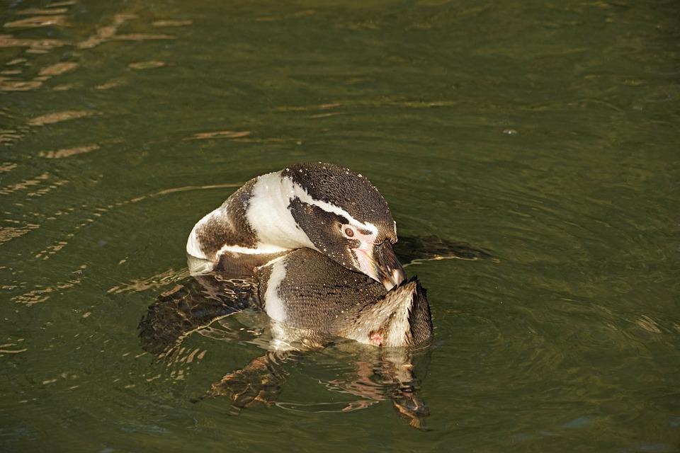 Penguin, Water, Clean, Humboldt Penguin, Water Bird