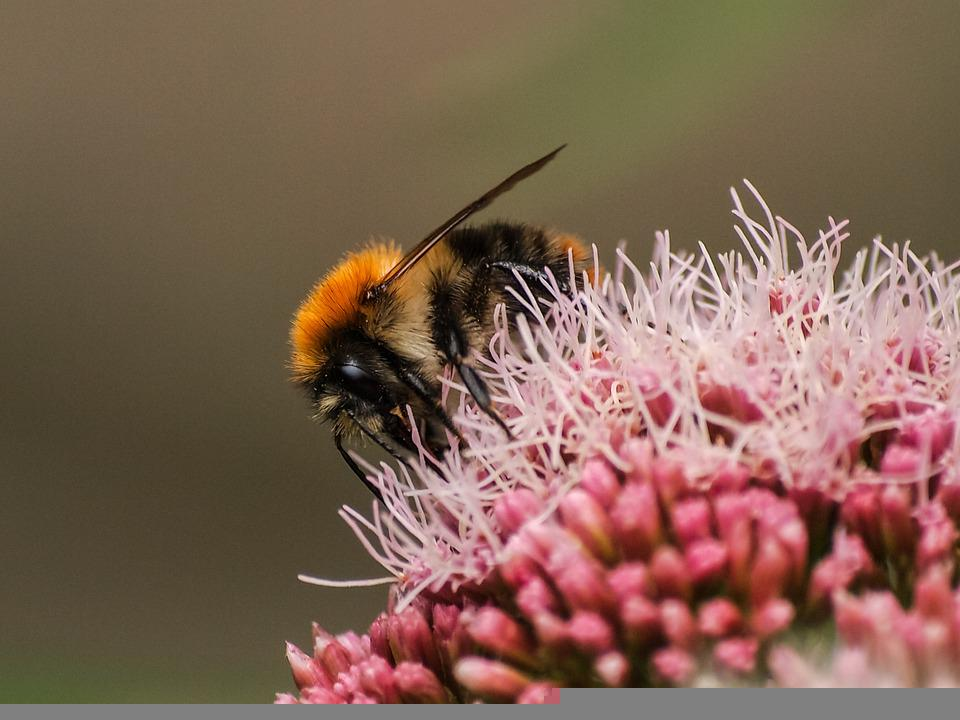 Acker Hummel, Hummel, Insect, Hymenoptera, Flowers