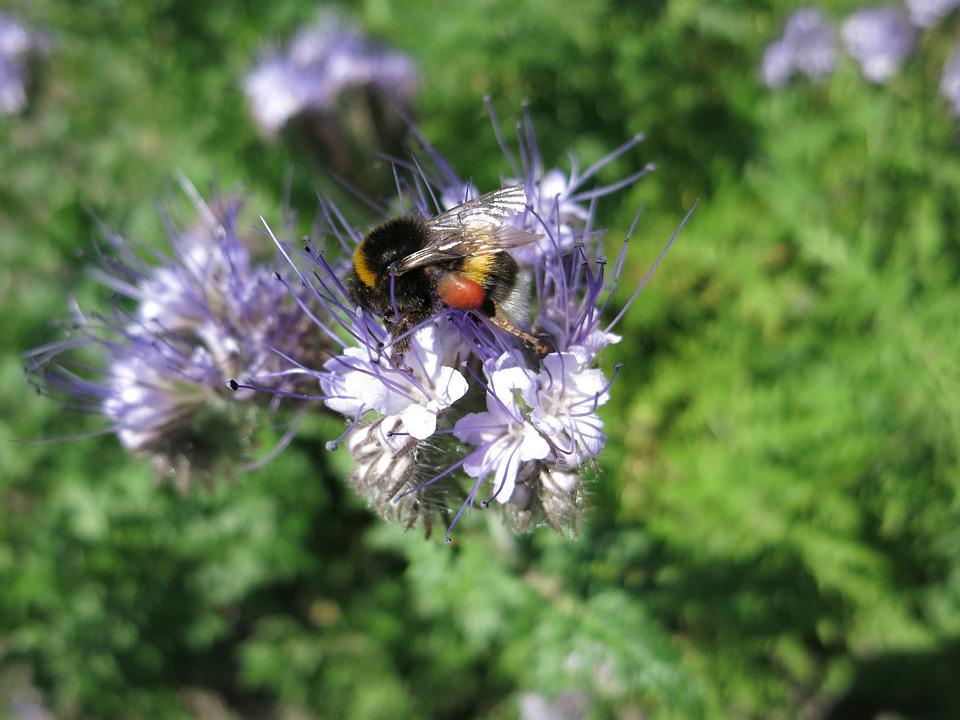Hummel, Nectar, Blossom, Bloom, Insect, Nature