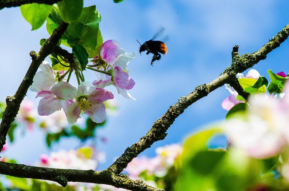 Blossom, Bloom, Branch, Hummel, Spring, Sky, Bud, Pink