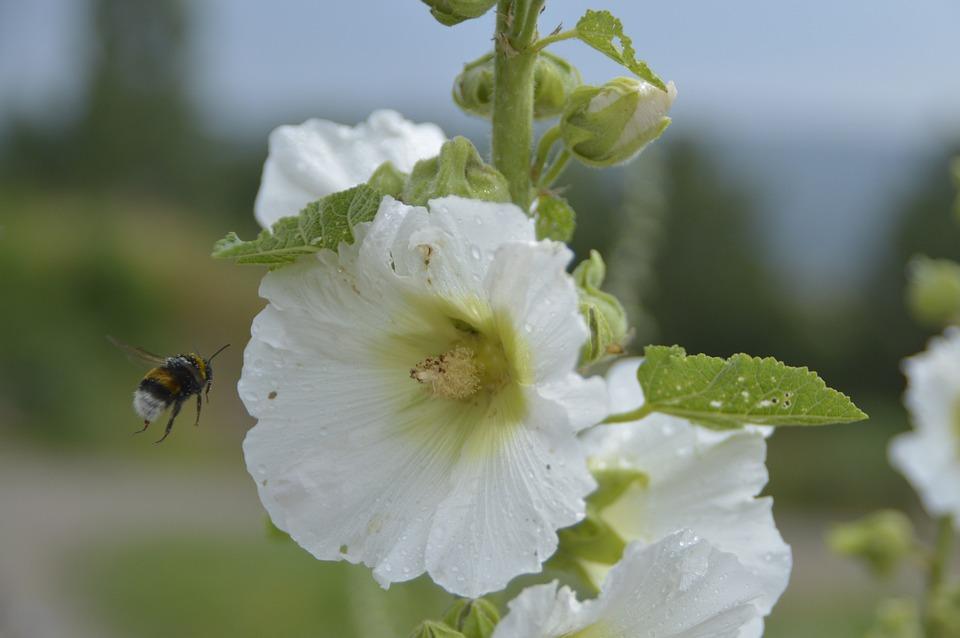 Hummel, Blossom, Bloom, White, Close, Recording, Macro