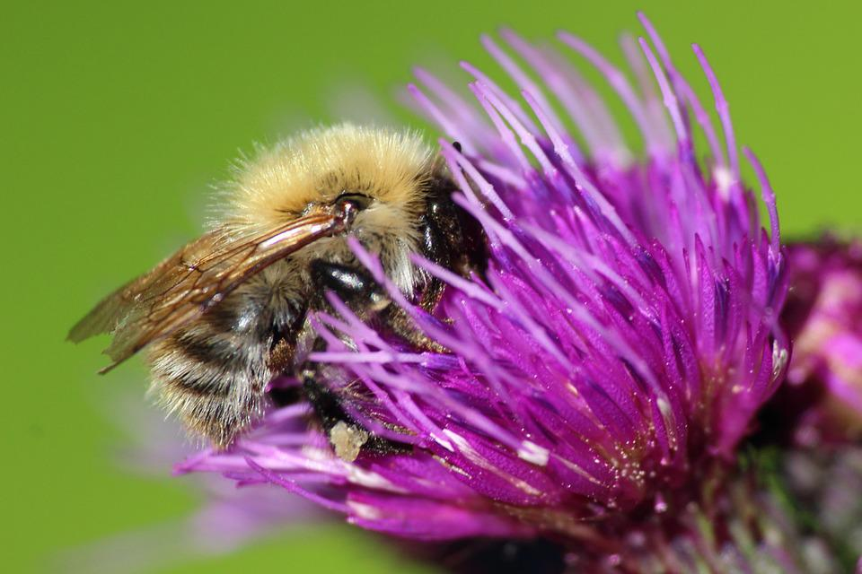 Bee, Hummel, Thistle Flower, Edge Of The Woods