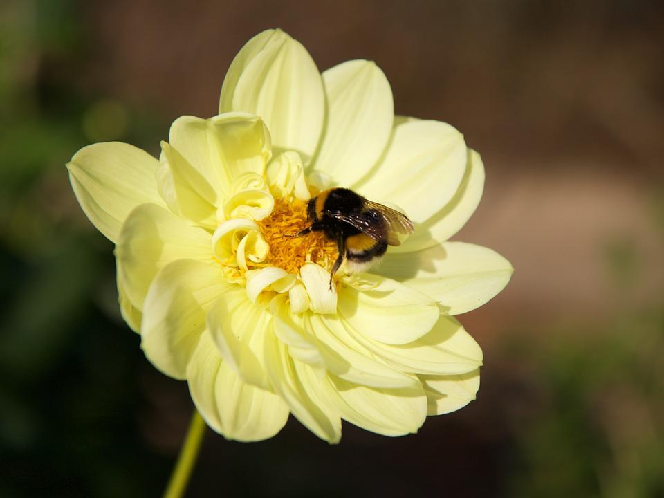 Nature, Insect, Hummel, Plant, Flower, Yellow, Dahlia