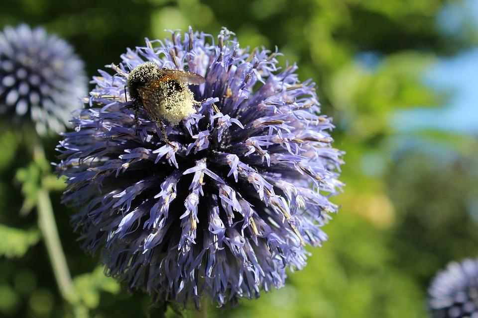 Blossom, Bloom, Blue, Flower, Hummel, Pollen Dust