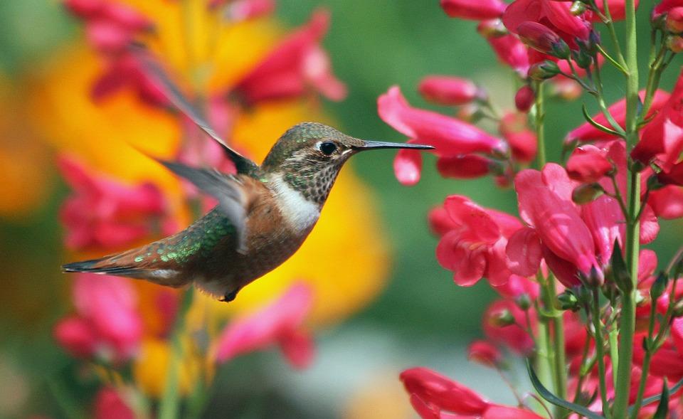 Hummingbird, Bird, Flowers, Small Bird, Animal