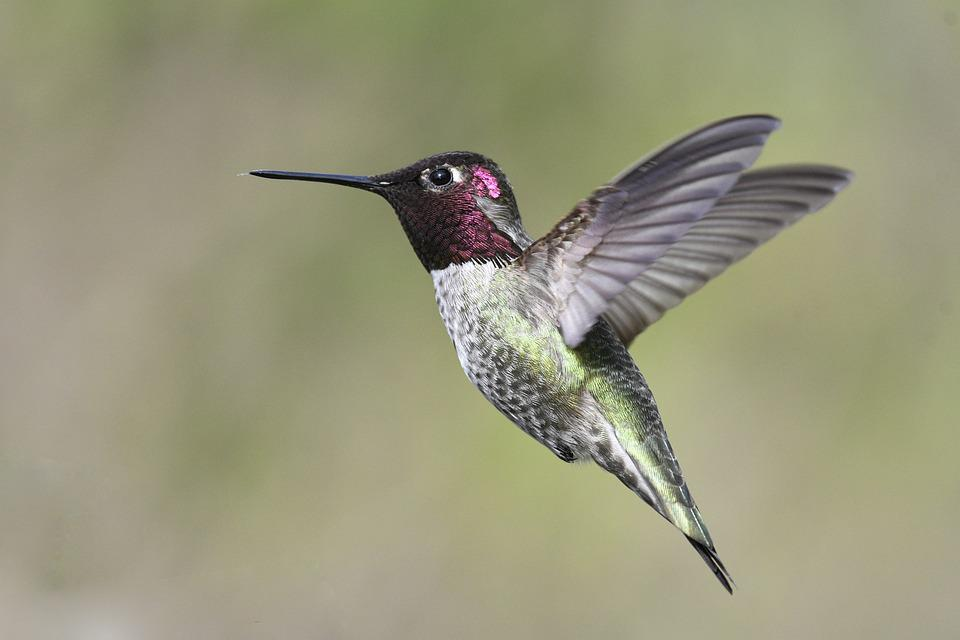 Anna's Hummingbird, Flight, Hummingbird, Beak, Wings