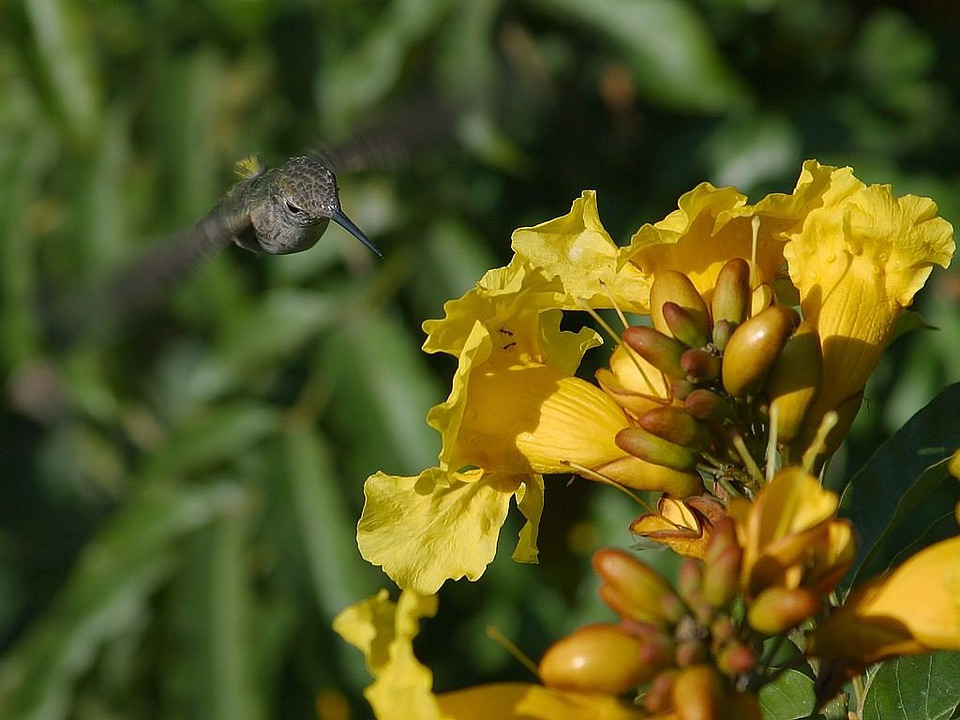 Hummingbird, Flower Nectar, Nectar, Drink, Fly, Float