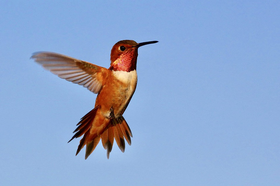 Hummingbird, Bird, Wings, Flying Hummingbird