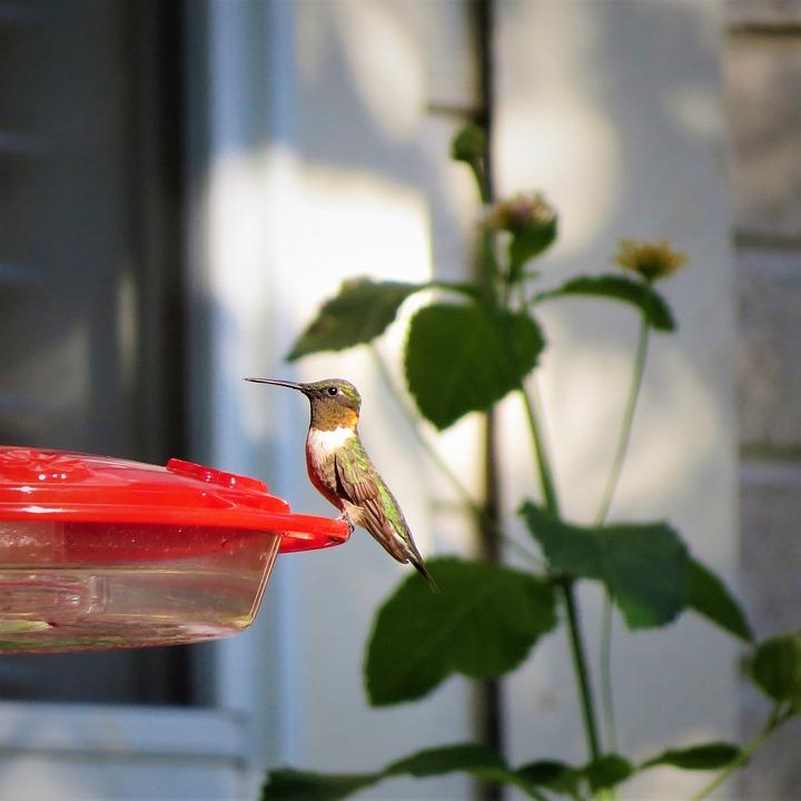 Bird, Hummingbird, Golden Neck, Wildlife