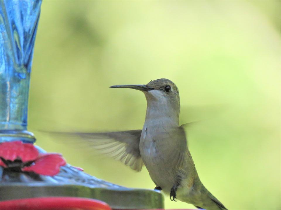 Bird, In Flight, Close Up, Hummingbird, Wildlife