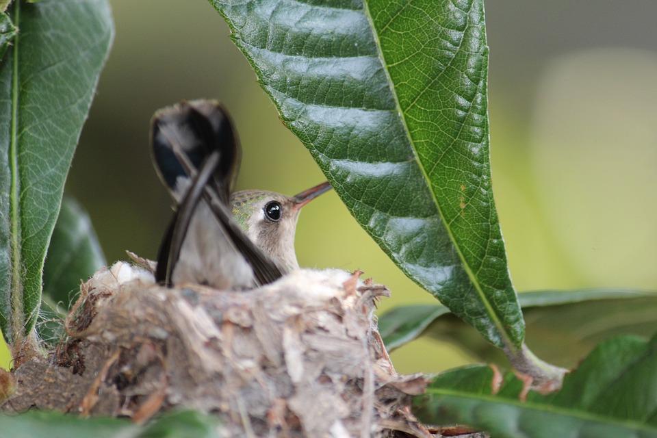 Small Hummingbird, Nature, Nest, Animals, Hummingbird