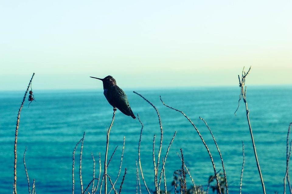 Hummingbird, Seaview, Blues