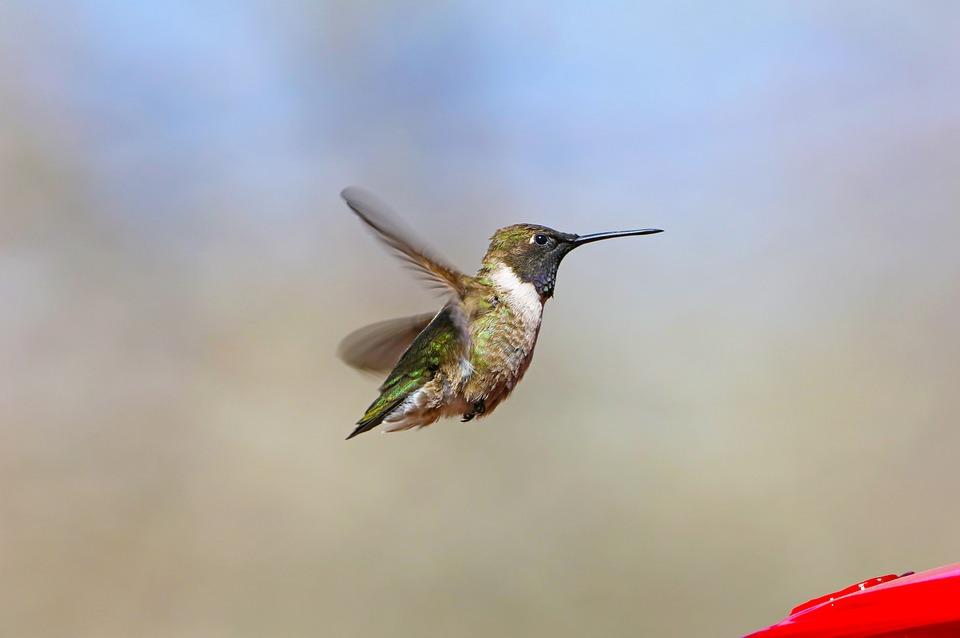 Hummingbird, Bird, Flying, Animal, Wildlife, Small
