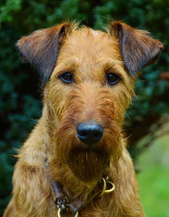 Dog, Irish Terrier, Animal Portrait, Hundeportrait, Pet