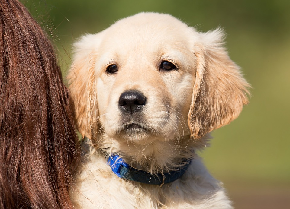Dog, Puppy, Golden Retriever, Hundeportrait, Young