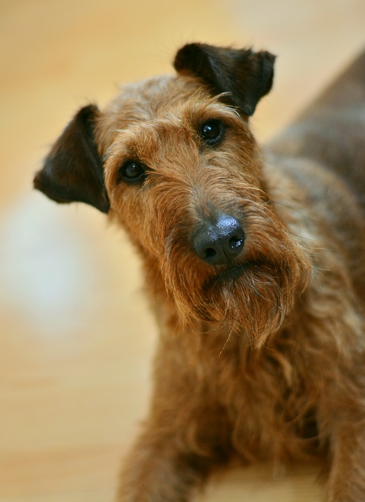 Dog, Irish Terrier, Terrier, Hundeportrait, Dog Eyes