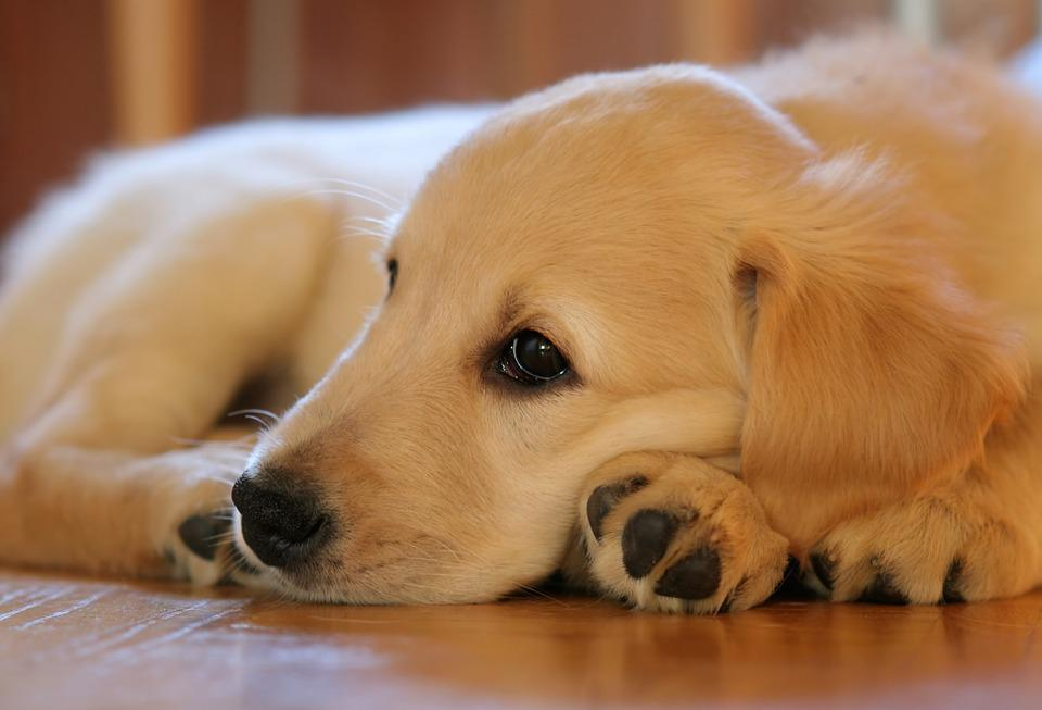 Puppy, Dog, Golden Retriever, Pet, Hundeportrait, Lying