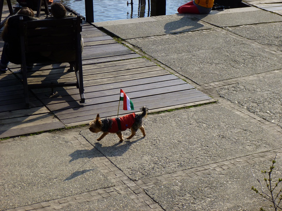 Dog, Funny, Hungarian Flag