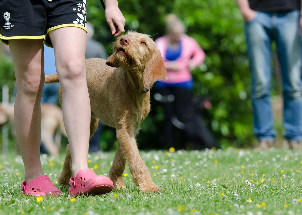 Dog School, Dog Training, Hungarian Pointing Dog